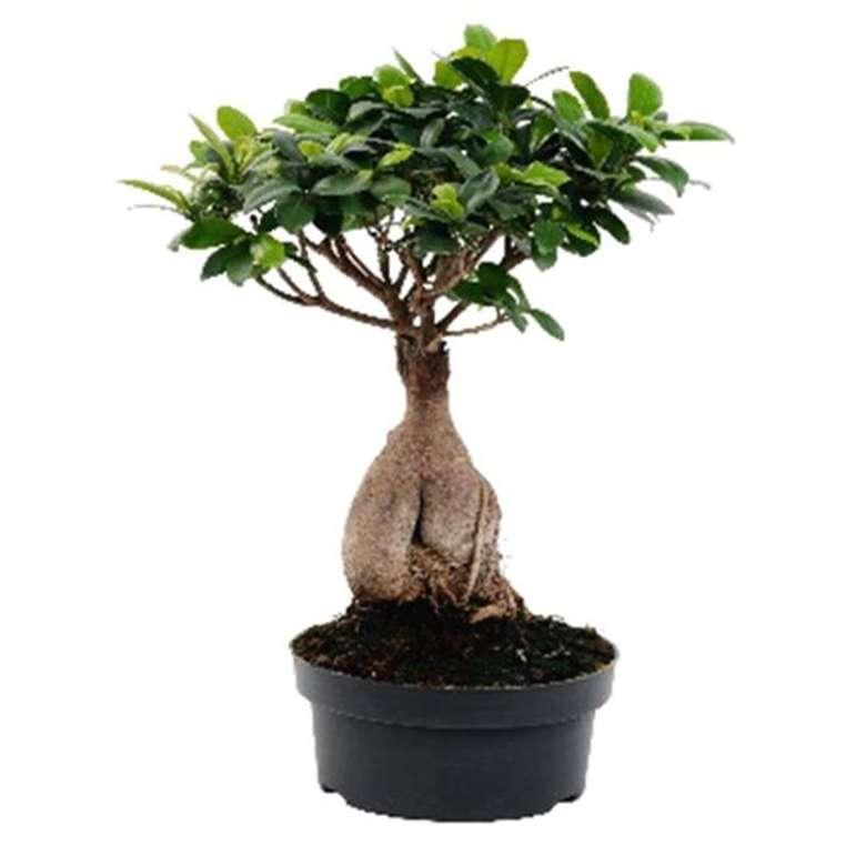 Ficus Ginseng Canlı Çiçek 35-50 Cm